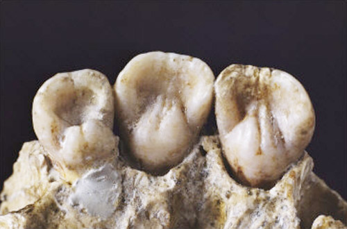 tooth-600,000-year