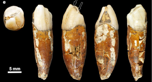tooth-600,000-year1